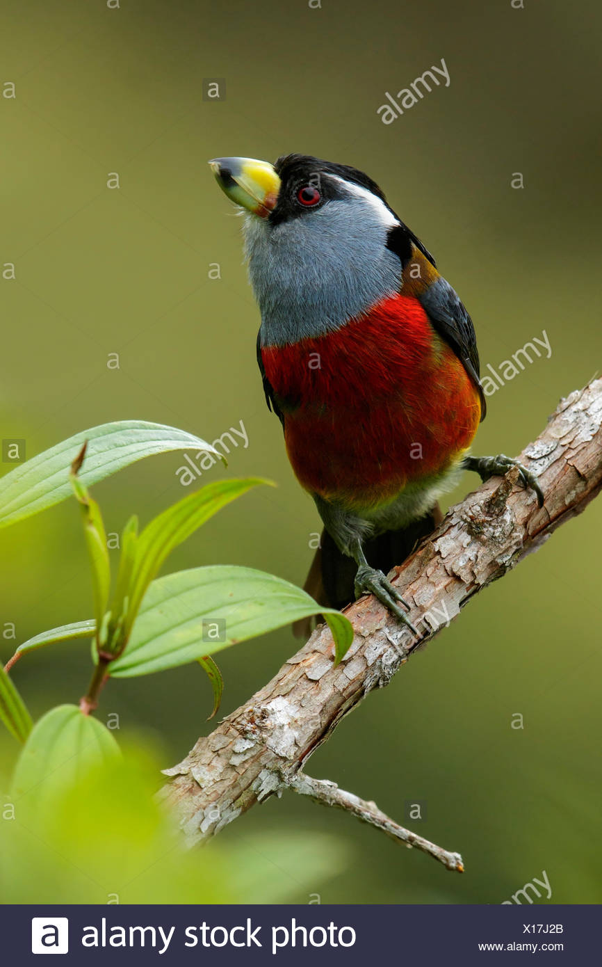 Toucan Barbet (Semnornis ramphastinus) perched on a branch in the Andes Mountains of Colombia. - Stock Image