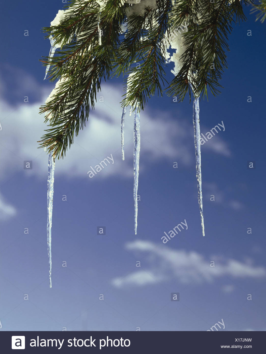 Conifer, detail, - branch, icicle - Stock Image