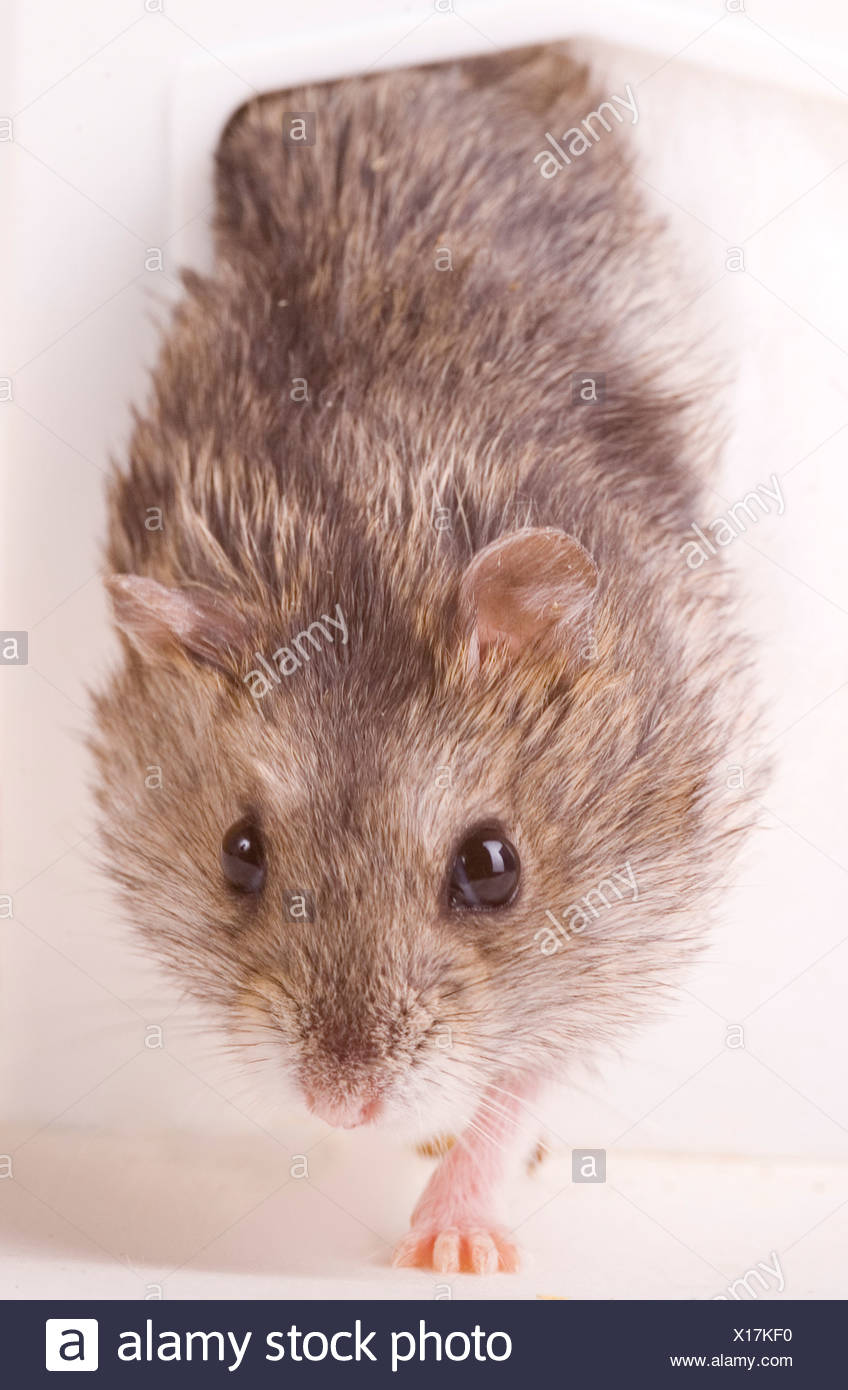 Hamster - Stock Image