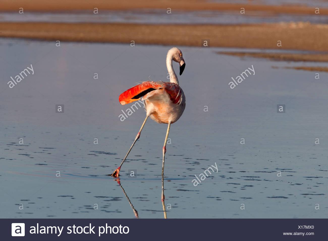 Andean Flamingo in a Salt Lake of the Atacama Desert, Chile Stock Photo
