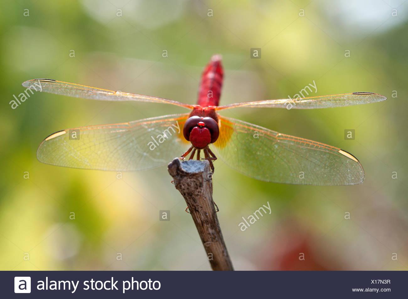 Scarlet Dragonfly, Broad Scarlet, France, Crocothemis erythraea, scarlet darter, insect, dragonfly, red, crocothemis erythraea, Stock Photo
