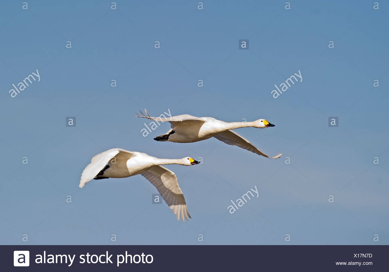Bewick's Swans Cynus columbianus The Fens Norfolk winter - Stock Image