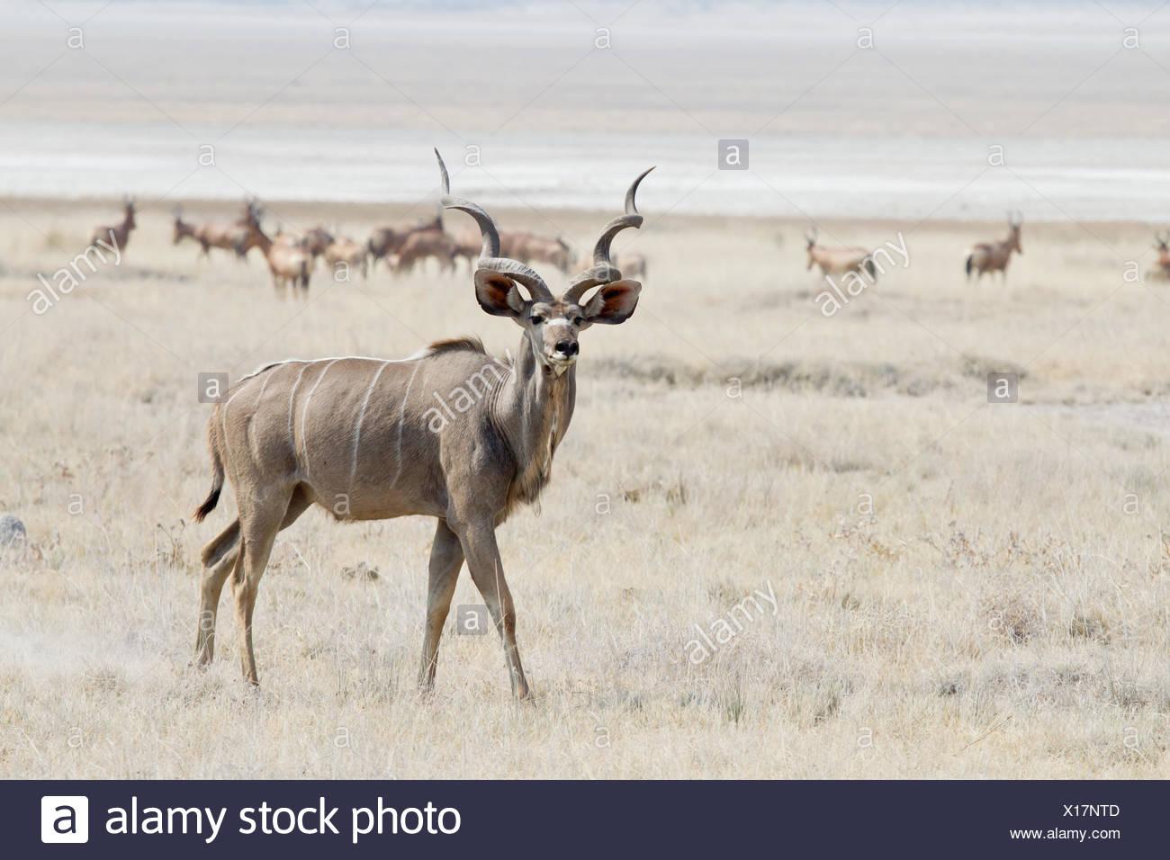 Greater Kudu (Tragelaphus strepsiceros) roaming pastureland, Etosha National Park, Namibia - Stock Image