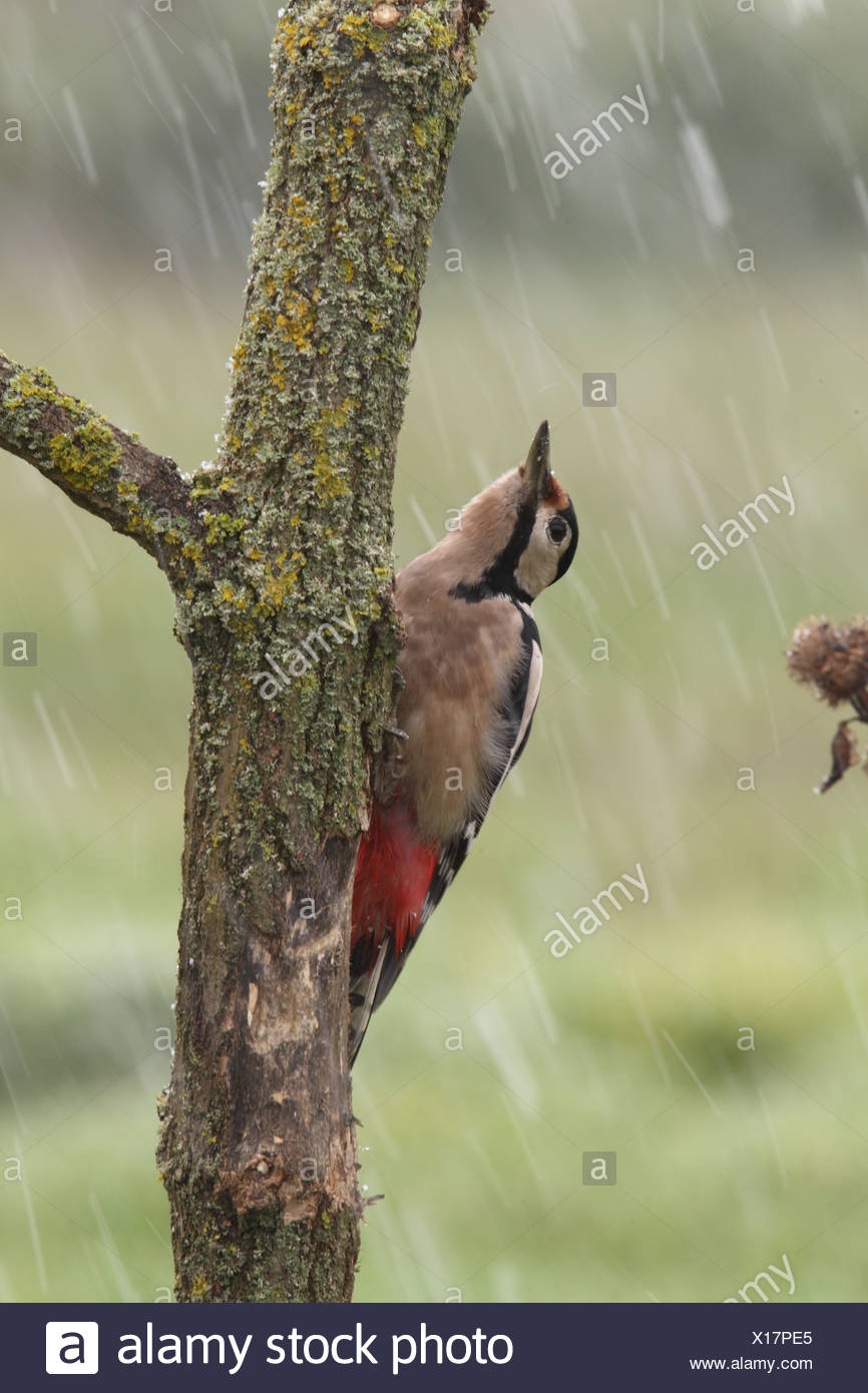Great Spotted Woodpecker (Dendrocopos major) adult female with abnormal plumage colouration clinging to branch during snowstorm - Stock Image