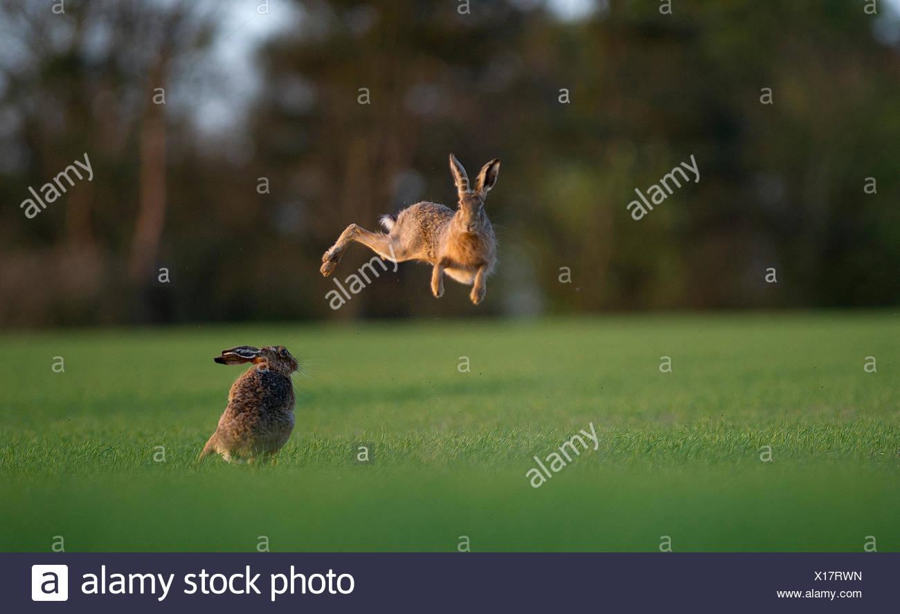 Brown Hare Lepus europaeus boxing in spring Norfolk - Stock Image