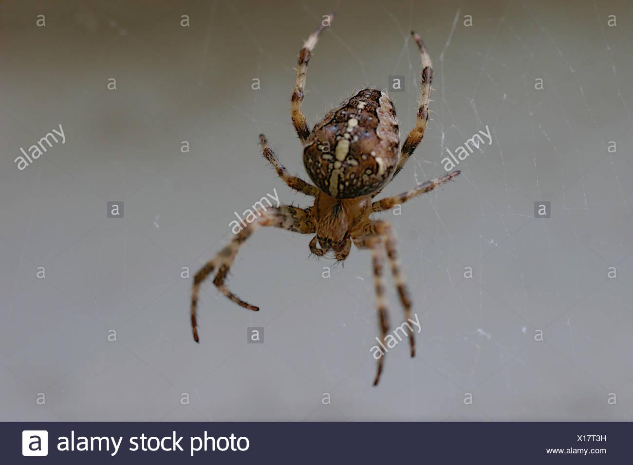 Cross-spider Araneus diadematus fuzziness nature animal spider arachnid Webspinne wheel-net-spider Araneidae concept fear fears - Stock Image