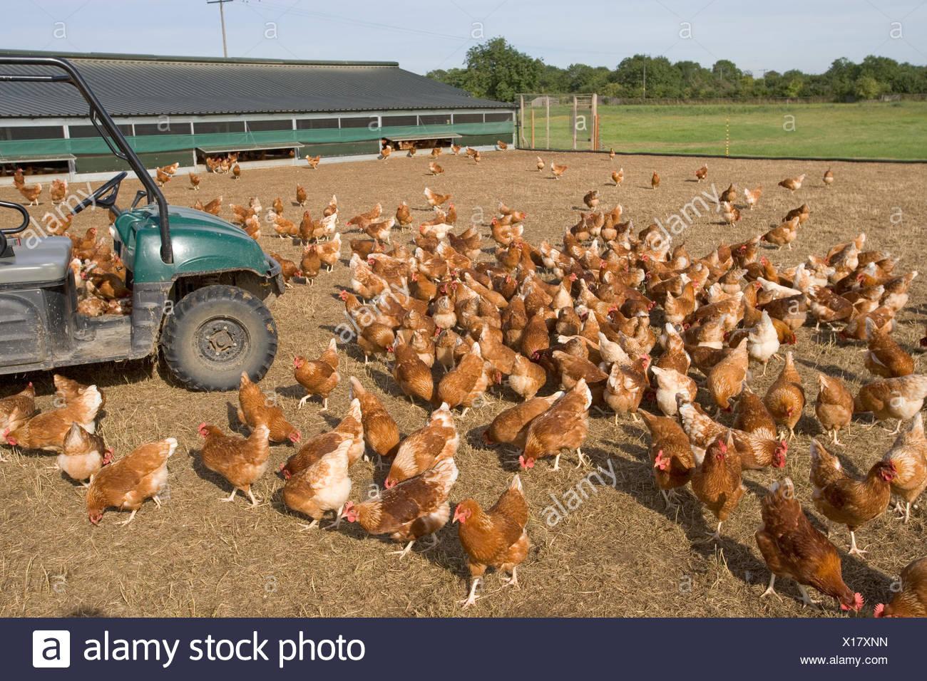 Organic free range hens - Stock Image