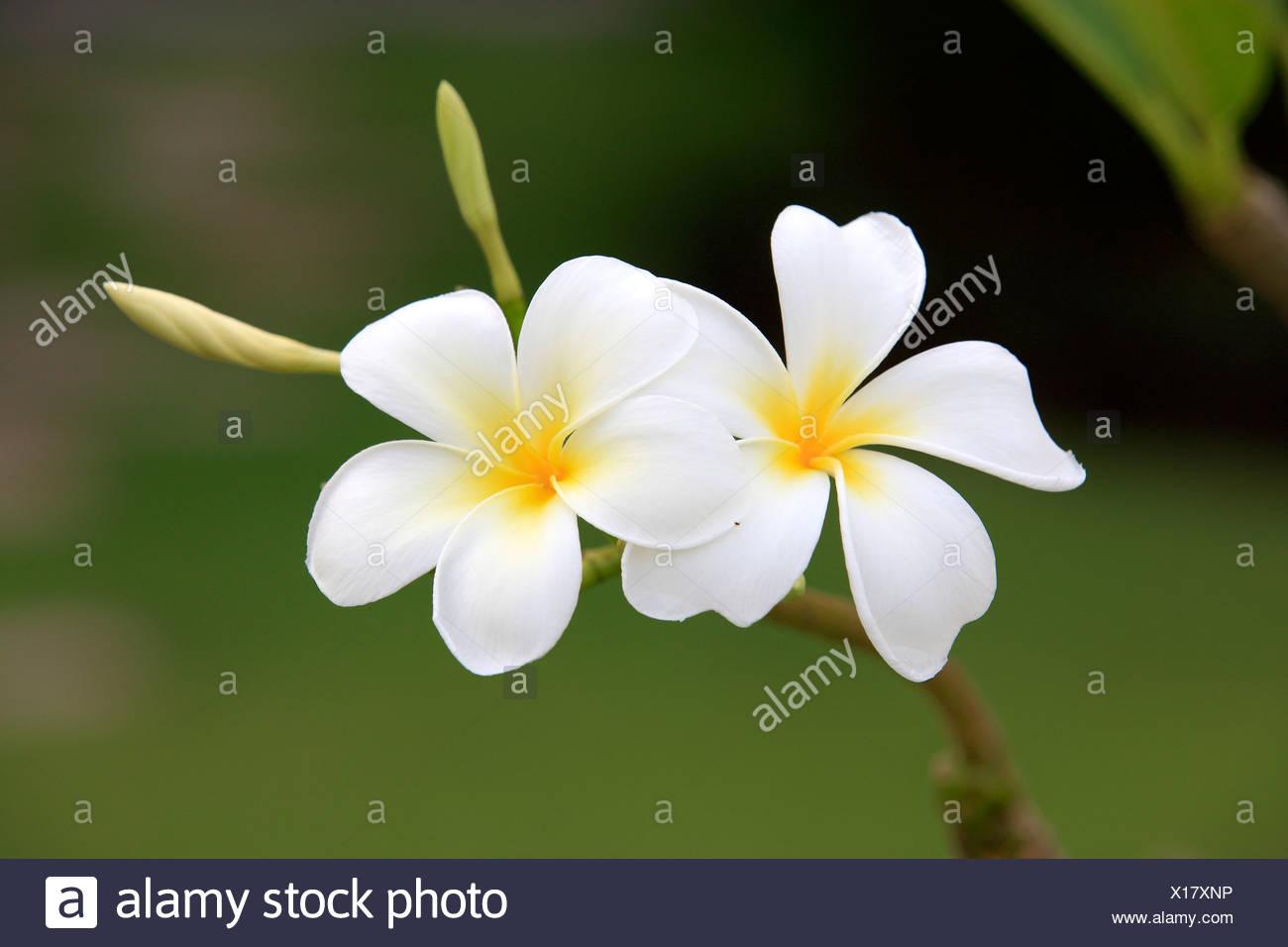 White frangipani (Plumeria pudica), flowers, Kota Kinabalu, Sabah, Malaysia, Borneo, Asia - Stock Image