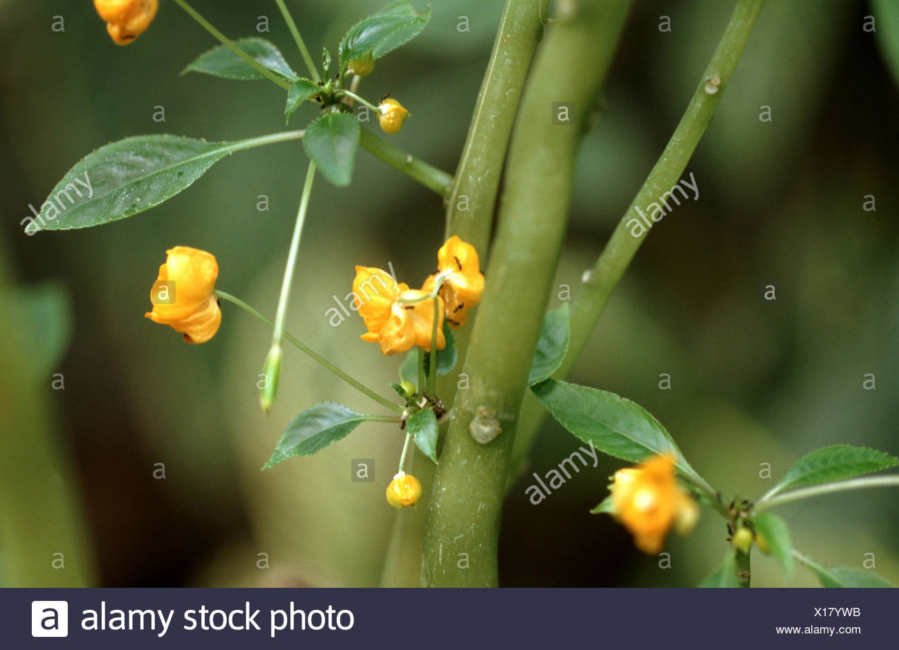Africans impatiens (Impatiens auricoma), blooming - Stock Image