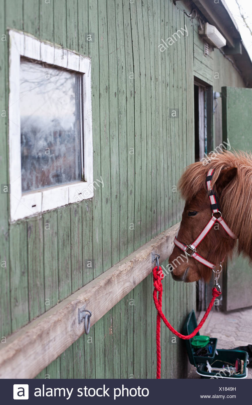 Horse tied to stable - Stock Image