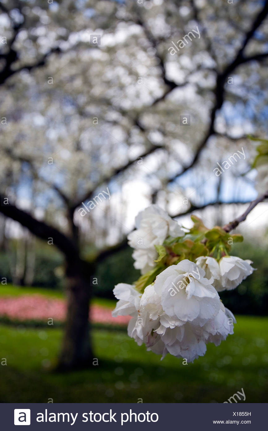 oriental cherry (Prunus serrulata), white flowers, Netherlands, Suedholland, Keukenhof, Lisse Stock Photo