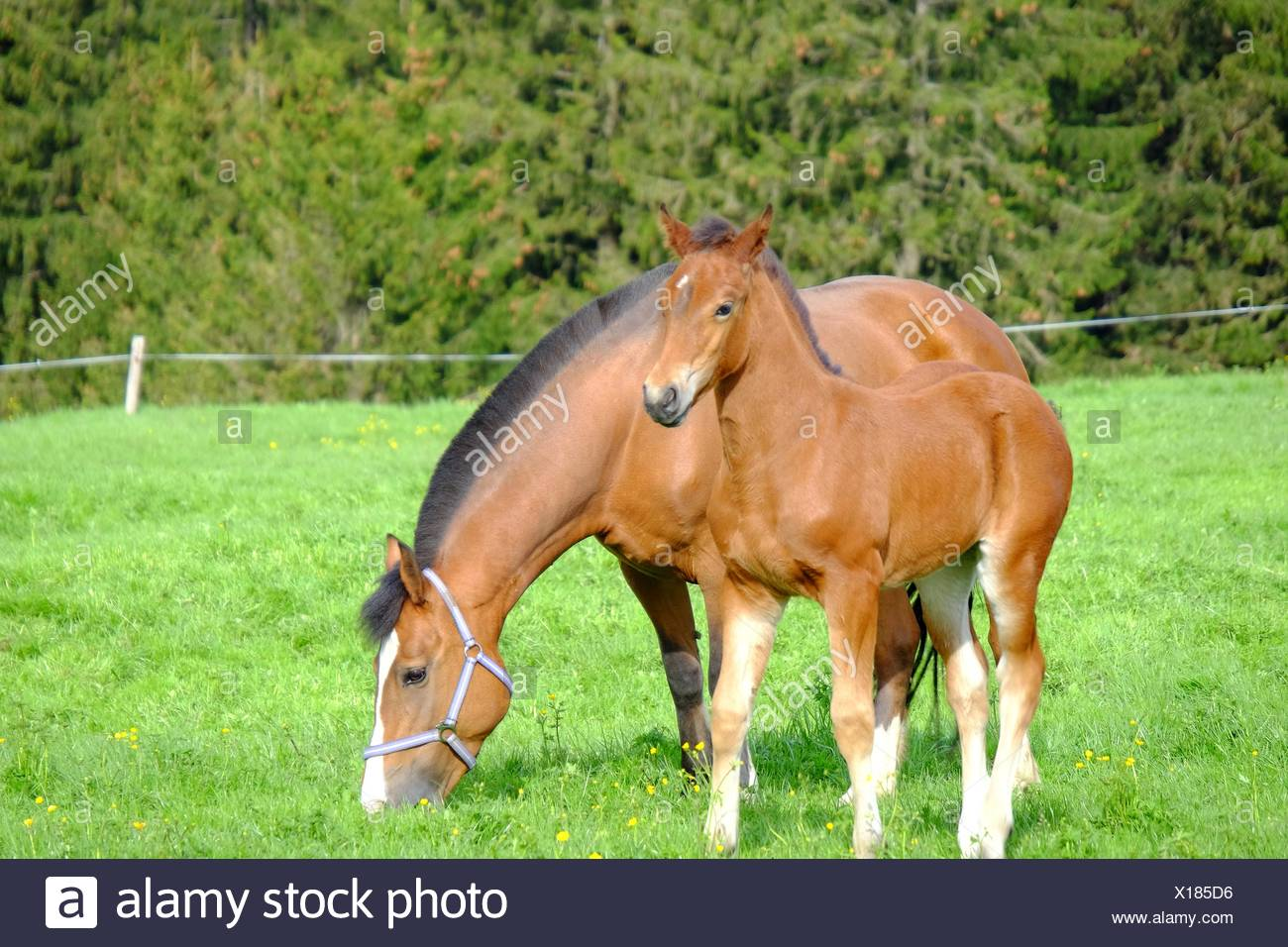 Horse With Foul Grazing On Grassy Field - Stock Image