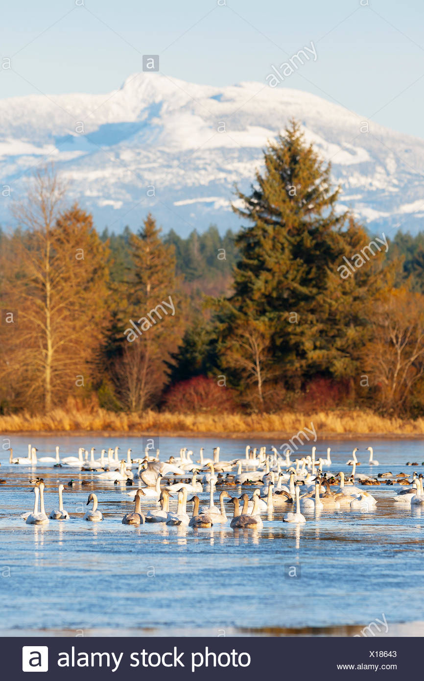 Wintertime finds a gathering of Trumpeter Swans (Cygnus buccinator) relaxing on a pond with Mt. Washington in the background. - Stock Image