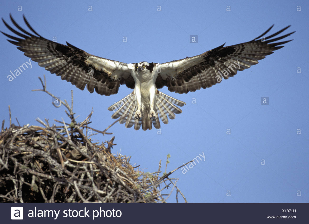 zoology / animals, avian / bird, Pandionidae, Osprey (Pandion haliaetus), flying towards nest, Sanibel Island, Florida, USA, distribution: worldwide without South America, Additional-Rights-Clearance-Info-Not-Available - Stock Image