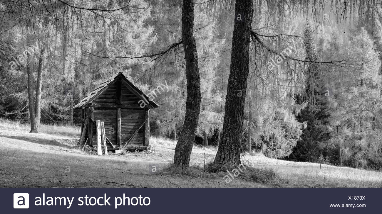Cabin in a larch forest,Auronzo,Cadore,Dolomites,Alps,Veneto,Italy - Stock Image