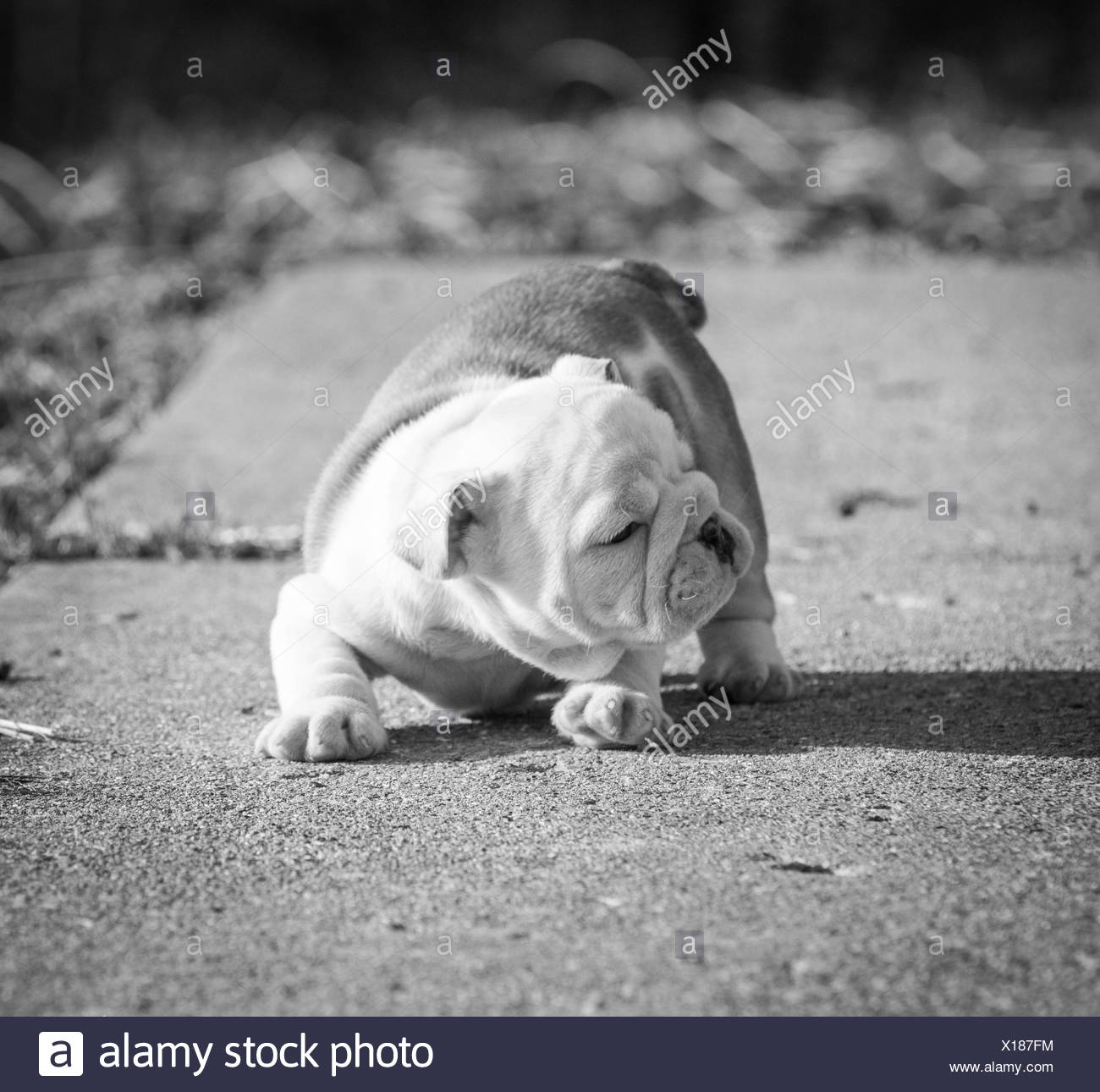 English Bulldog Black And White Stock Photos Images Alamy