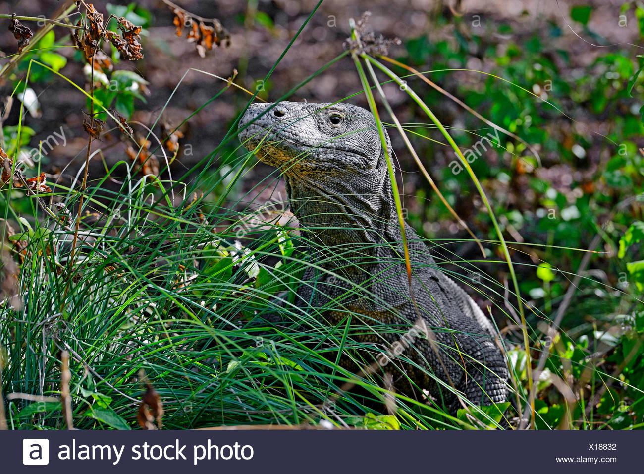 Komodo-Waran, Komodo Waran, Komodowaran (Varanus komodoensis), im Grasland getarnt, Seitenansicht, Indonesien, Rinca, Komodo Nat - Stock Image