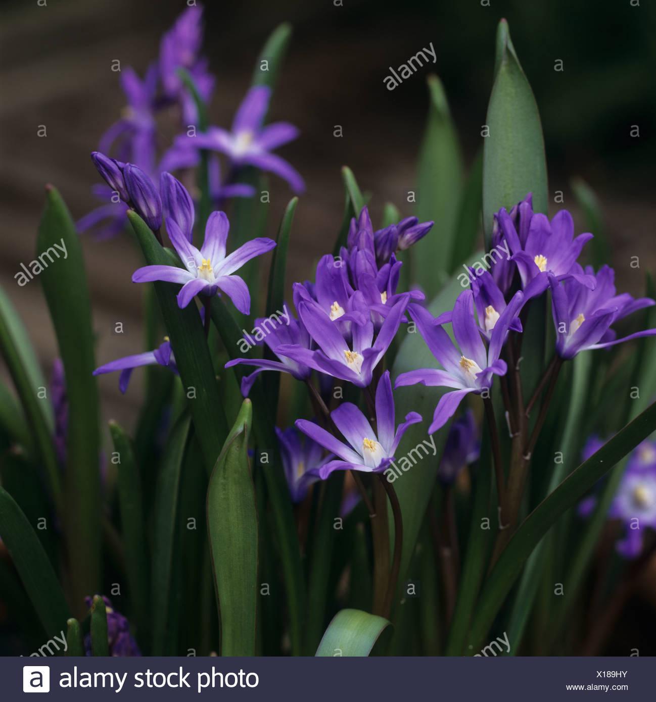 Chionodoxa forbesii Glory of the Snow flowering plants - Stock Image