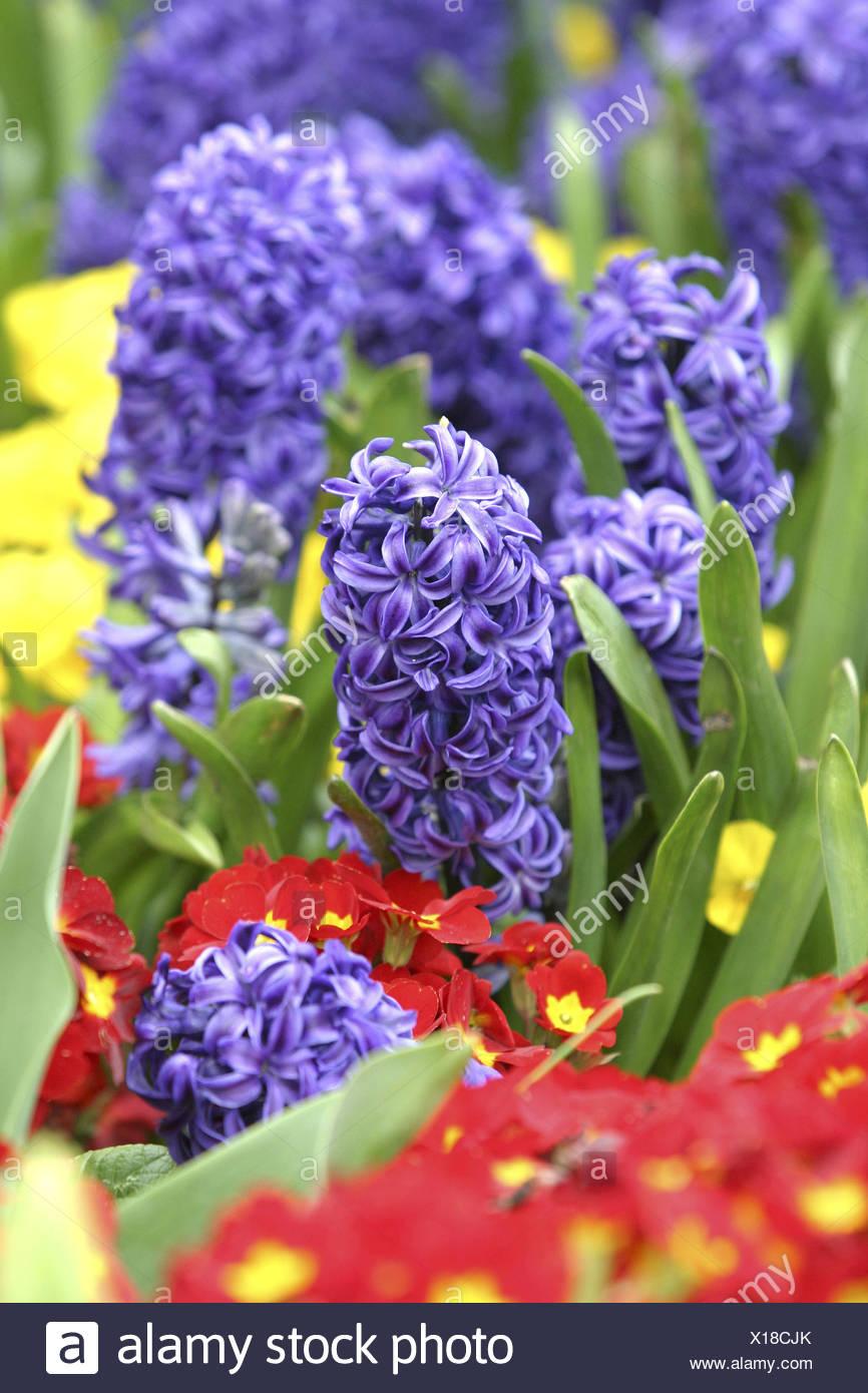 Hyazinthen und Primeln Kensington Gardens London Stock Photo