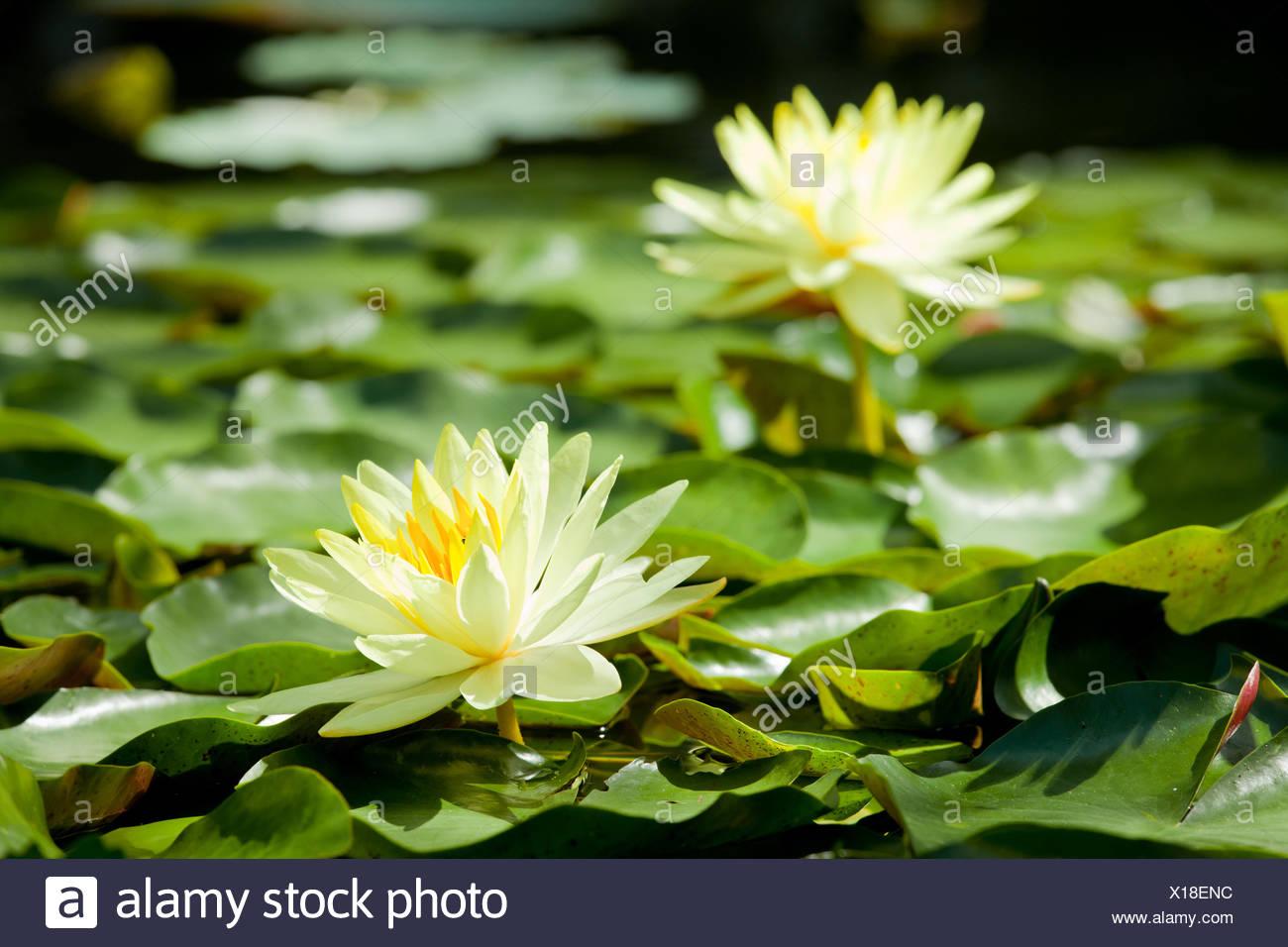 Real Lake Lotus Flowers Wild Stock Photos Real Lake Lotus Flowers
