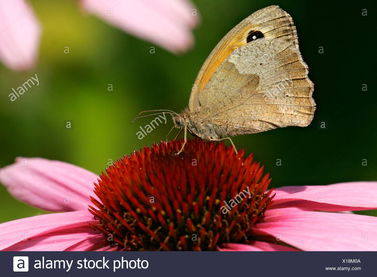 Meadow brown butterfly sitting on a purple cone flower blossom - butterfly (Maniola jurtina) (Echinacea purpurea) - Stock Image