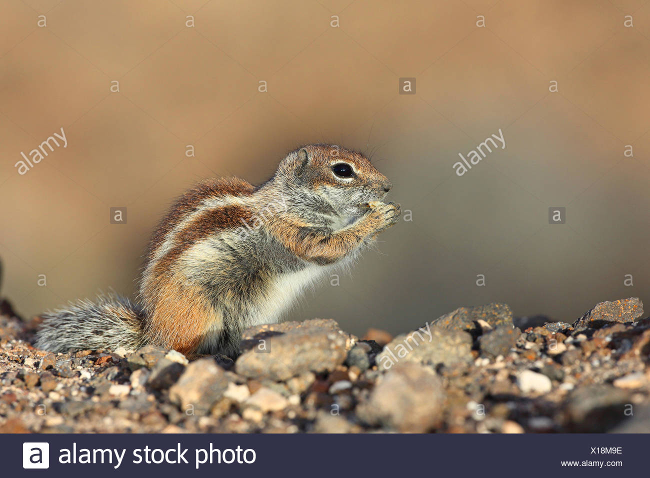 barbary ground squirrel, North African ground squirrel (Atlantoxerus getulus), sits on the ground and is eating, Canary Islands, Fuerteventura - Stock Image