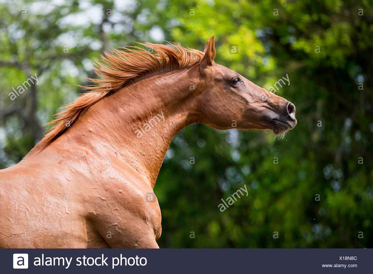 Hessian Warmblood. Portrait of chestnut mare with mane flowing. Germany - Stock Image