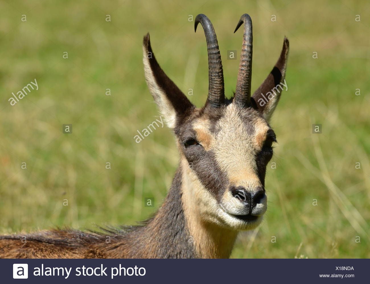 Monochrome portrait of a Chamois, a european mountain antelope, hunted for the skin which was used for chammy cleaning cloths - Stock Image