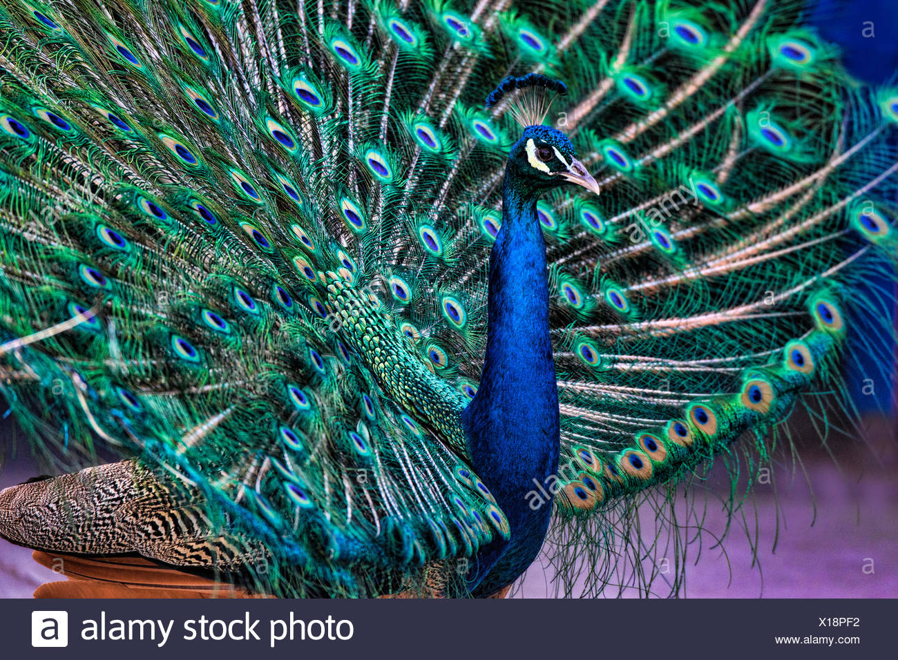 male, peacock, indian peafowl, pavo cristatus, bird - Stock Image