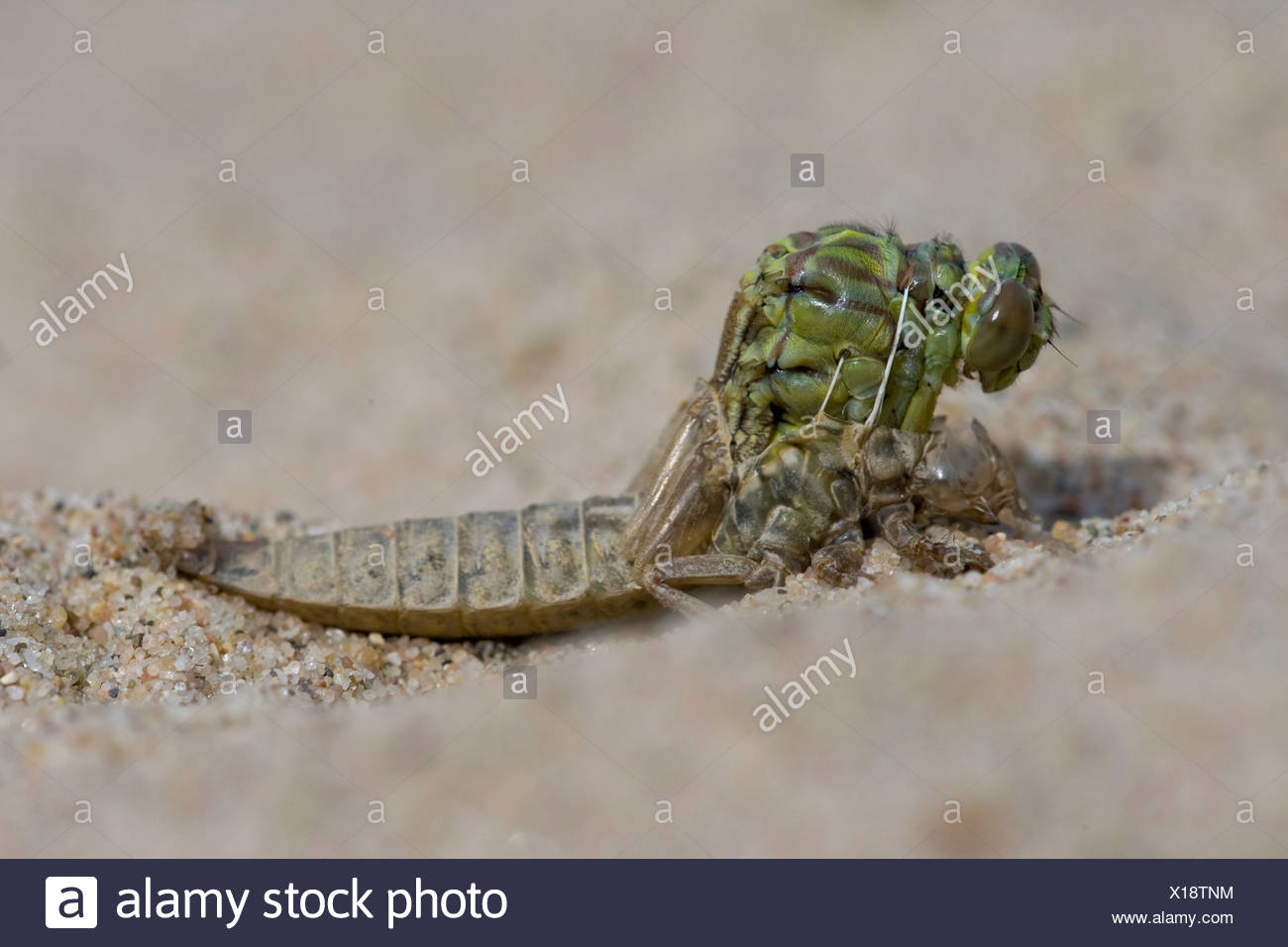Emerging River Clubtail (5/12); emerging, after 3 minutes; UItsluipende Rivierrombout (5/12); uitsluipend; na 3 minuten - Stock Image