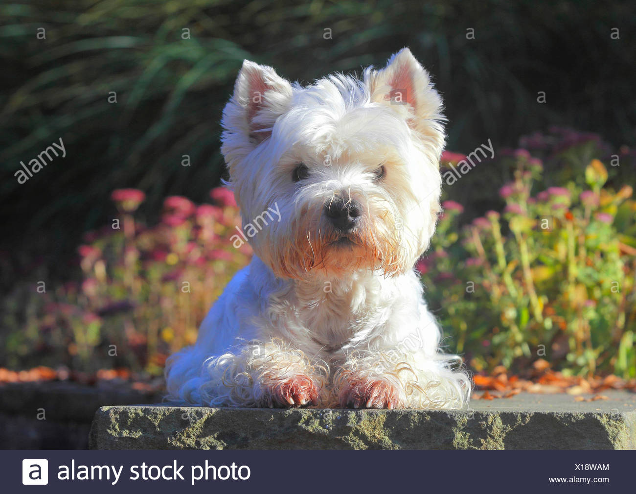 West Highland White Terrier, Westie (Canis lupus f. familiaris), nine years old male dog lying in a park on a wall, Germany - Stock Image