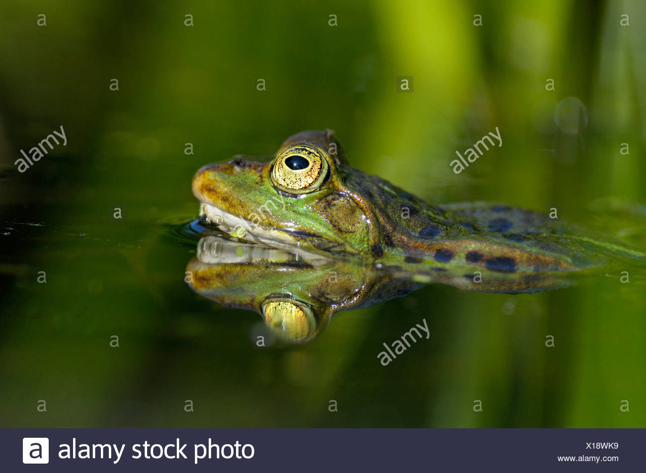 European edible frog, common edible frog (Rana kl. esculenta, Rana esculenta), male during the spawning season, Germany, North Rhine-Westphalia - Stock Image