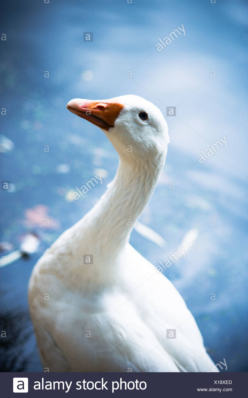 Goose standing in front of water - Stock Image