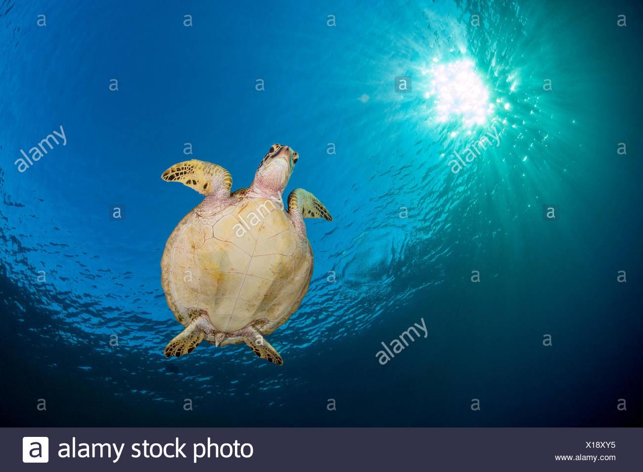 Green sea turtle (Chelonia mydas) swimming in blue beneath evening sun. Rock Islands, Palau, Mirconesia. Tropical west Pacific Ocean. Stock Photo