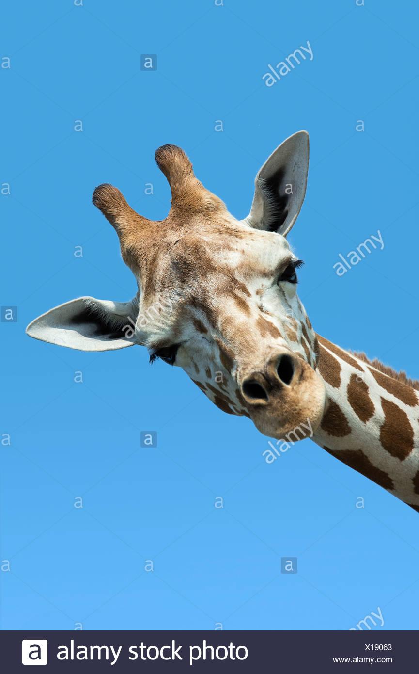 Giraffe portrait, Giraffa camelopardalis tippelskirchi - Stock Image