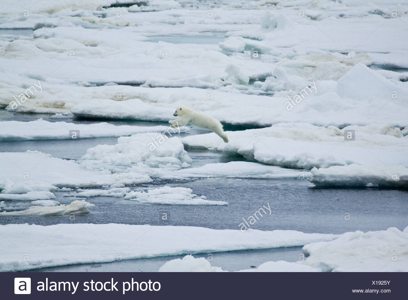 A polar bear cub takes a mighty leap from one ice floe to another. - Stock Image