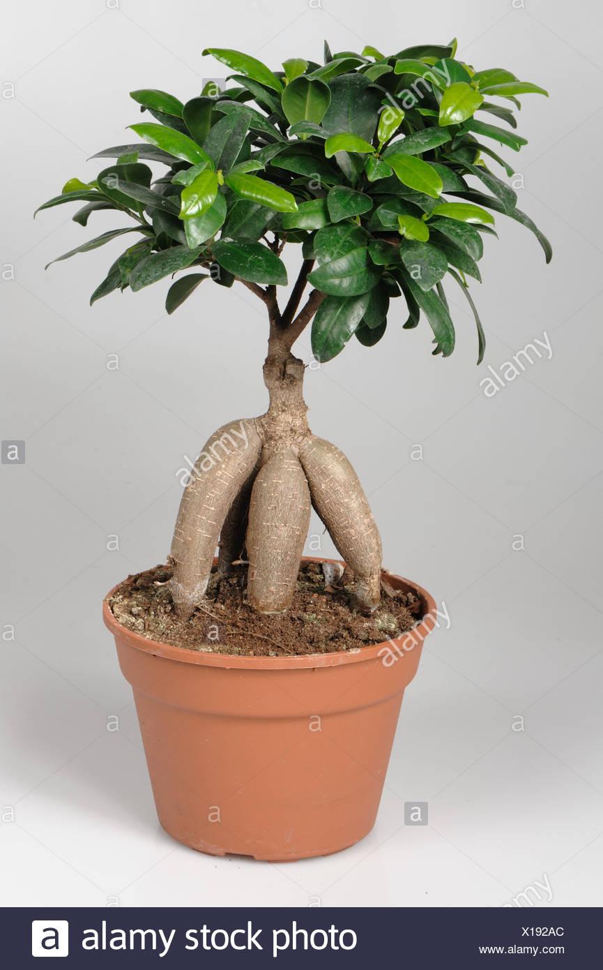 Ficus Microcarpa Ginseng Bonsai Tree In A Pot Stock Photo 276179972