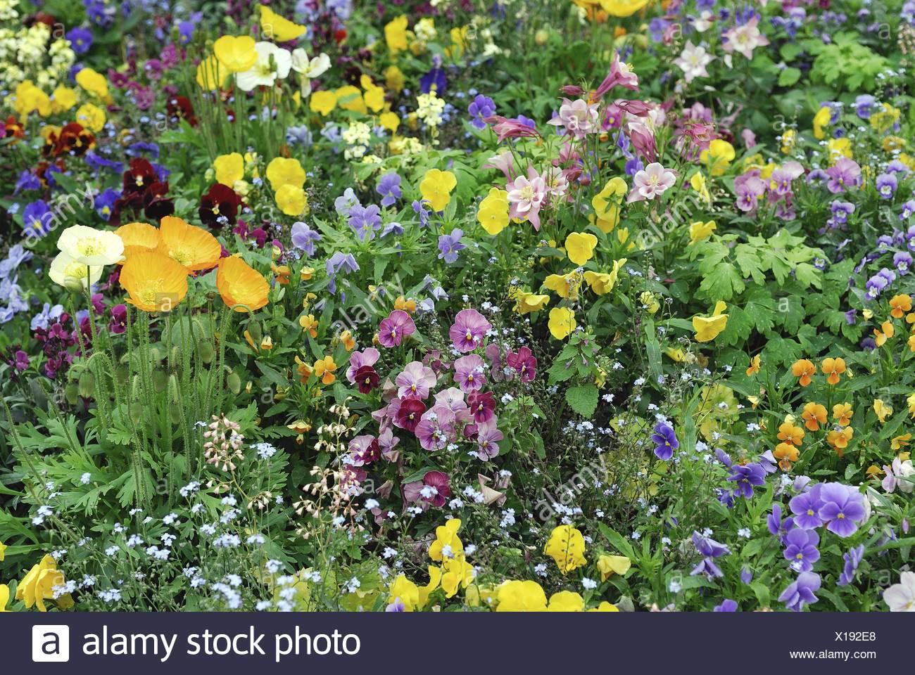 Pansy, Pansy Violet (Viola x wittrockiana, Viola wittrockiana, Viola hybrida), flowerbed in spring Stock Photo