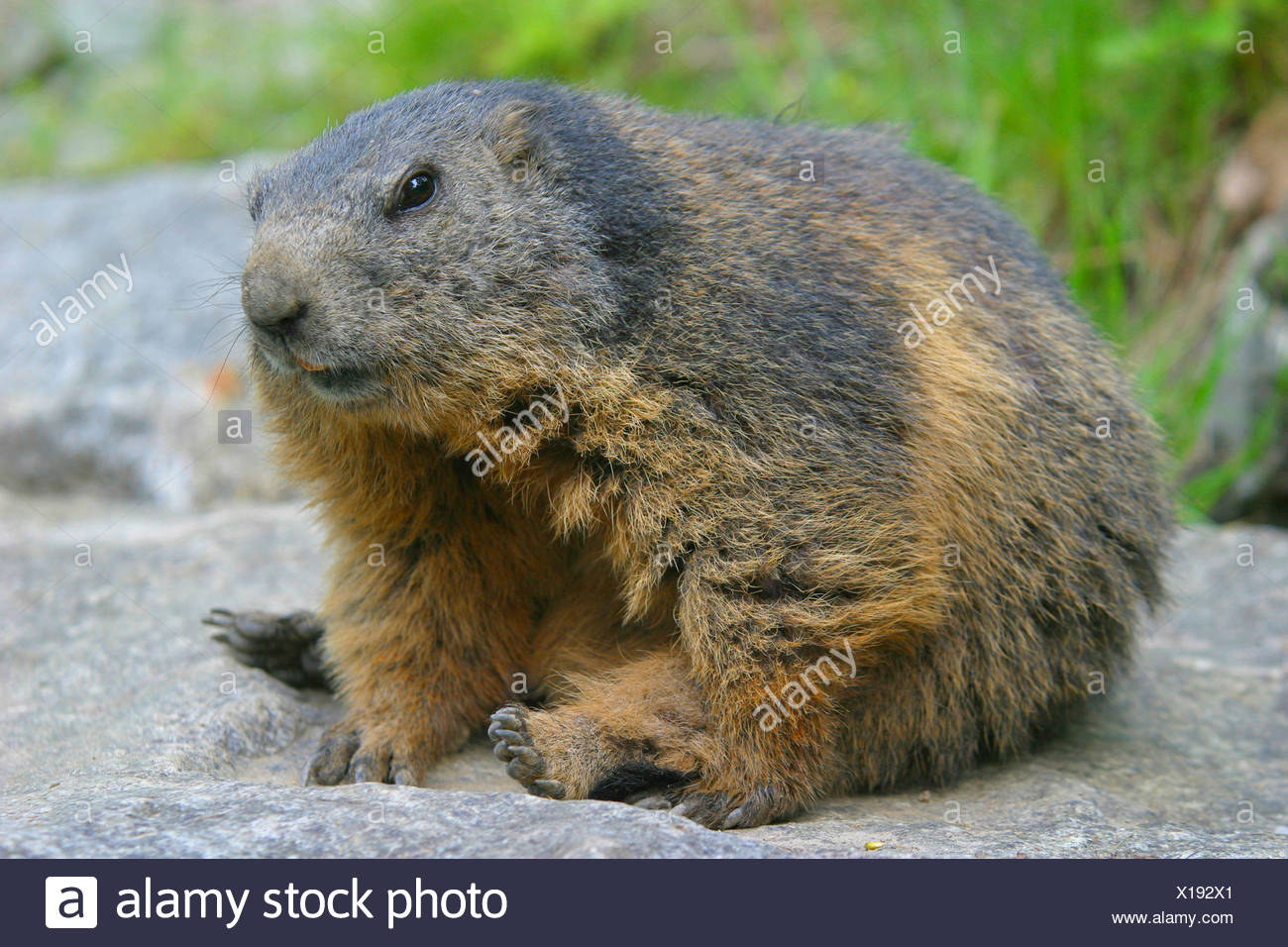 alpine marmot (Marmota marmota), sitting on a stone, Austria - Stock Image