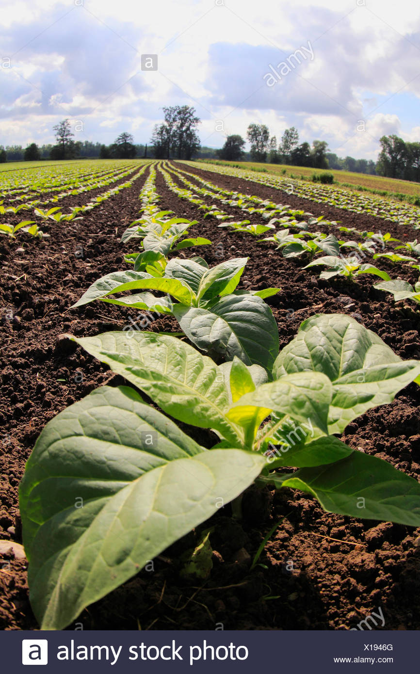 Cultivated Tobacco, Common Tobacco, Tobacco (Nicotiana tabacum), settlement on the field, Germany, Baden-Wuerttemberg - Stock Image
