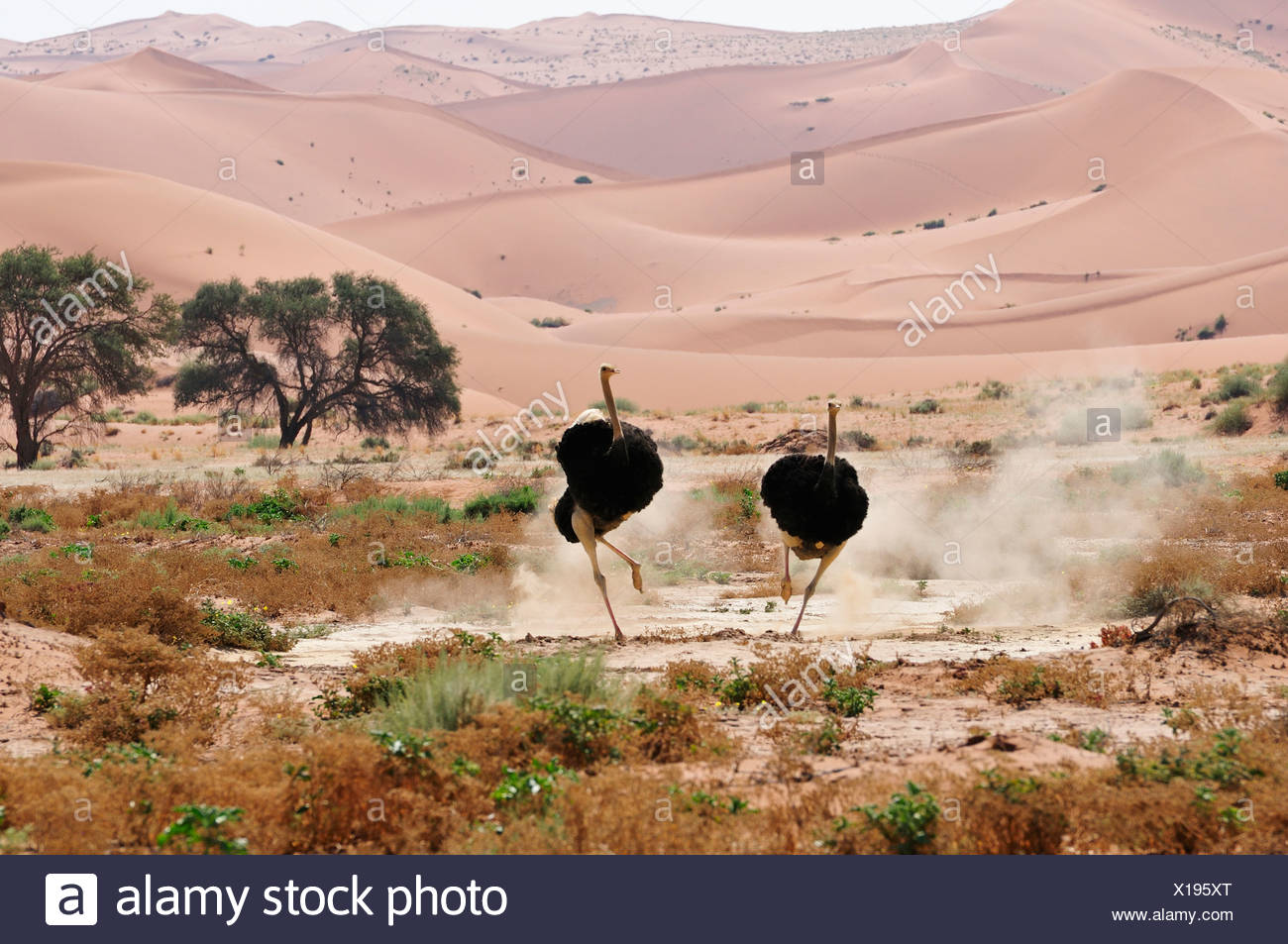 Africa Dunes Hills Namib Naukluft Park Namibia Sossusvlei afraid african charging horizontal ostrich bird running Stock Photo