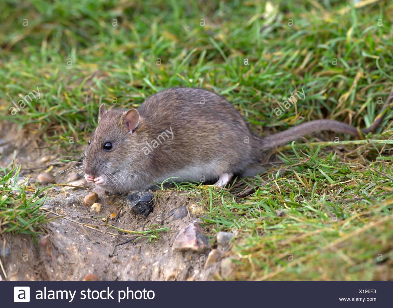 Brown Rat Rattus norvegicus - Stock Image