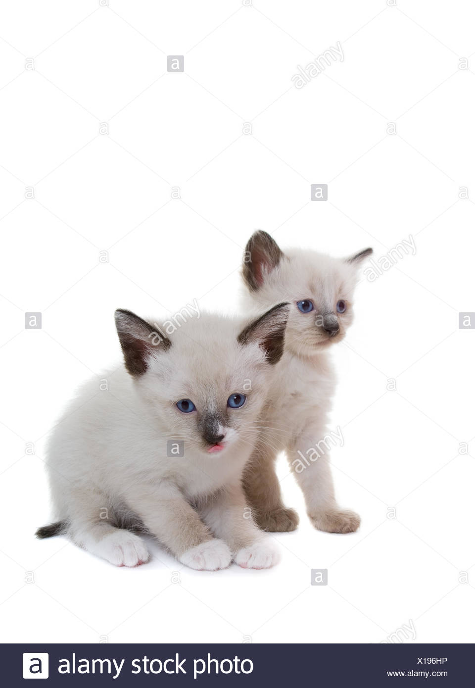lilac cat baby kitten - Stock Image