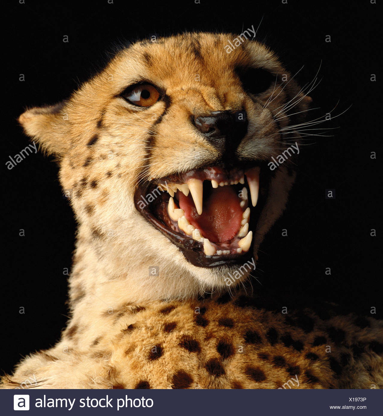 Portrait of Cheetah Snarling - Stock Image