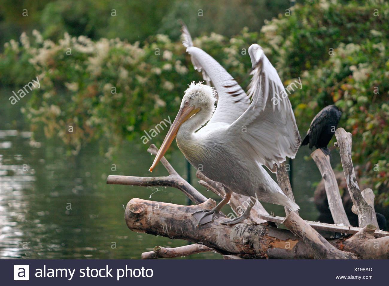 Pelikan / pelican Stock Photo