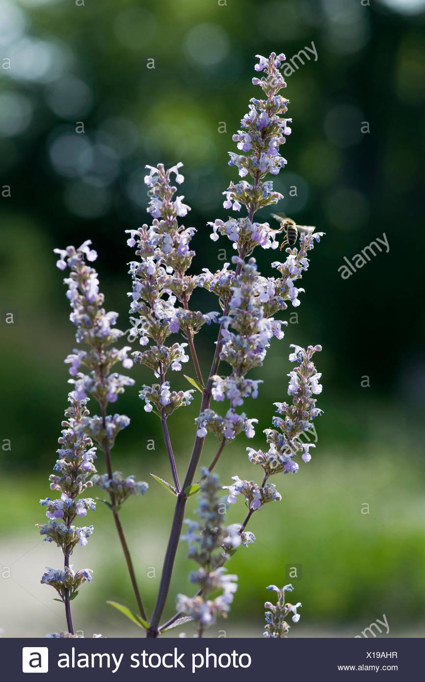 Hairless Catmint (Nepeta nuda), blooming, Germany - Stock Image