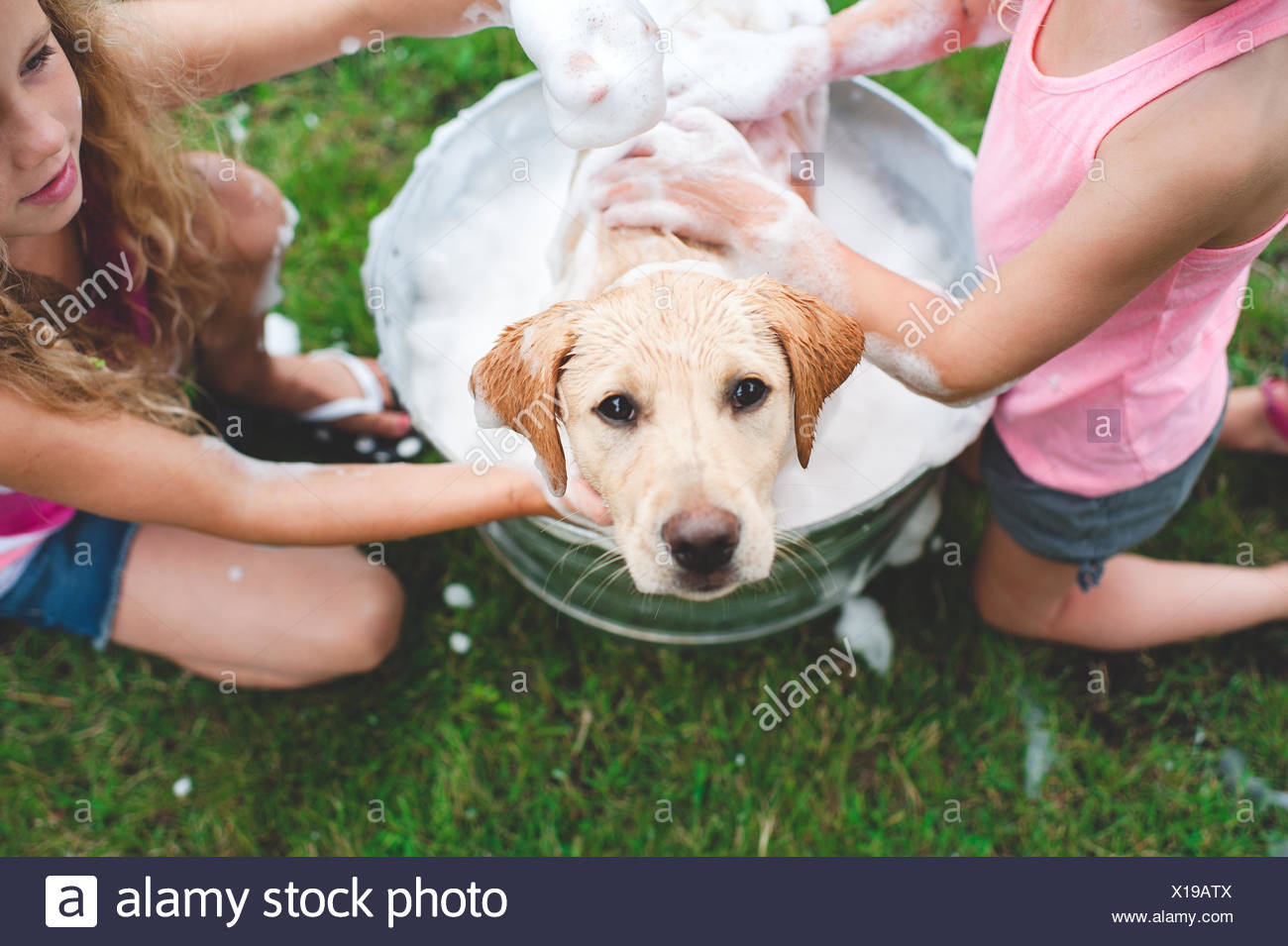 Labrador Retriever puppy in bucket looking up - Stock Image