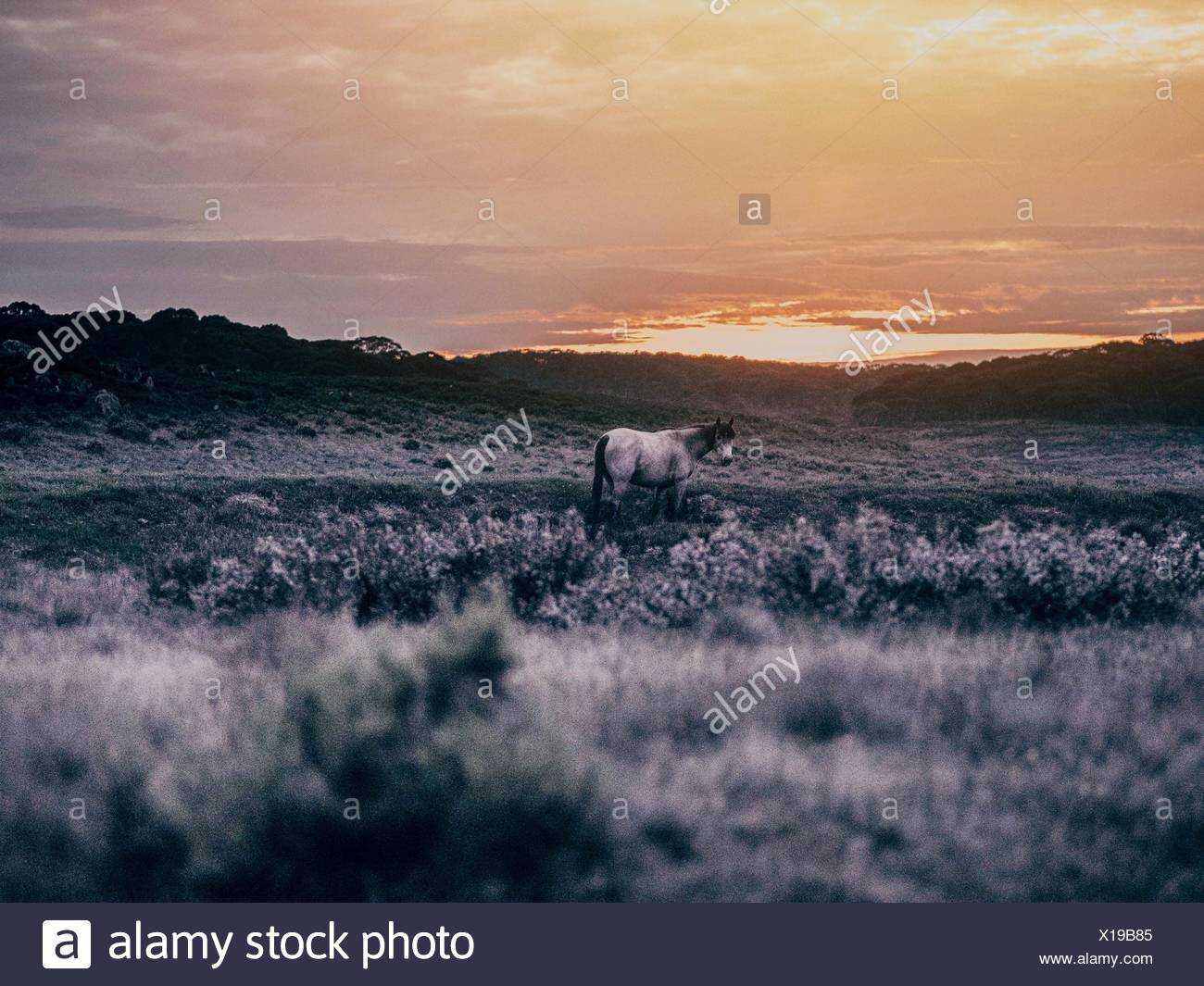 Horse On Field Against Sky During Sunset - Stock Image
