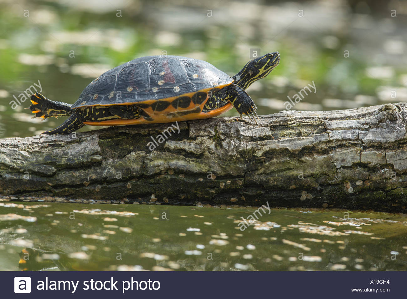 Florida Red-bellied Cooter , sun basking on tree trunk in pond, (Pseudemys nelsoni) - Stock Image