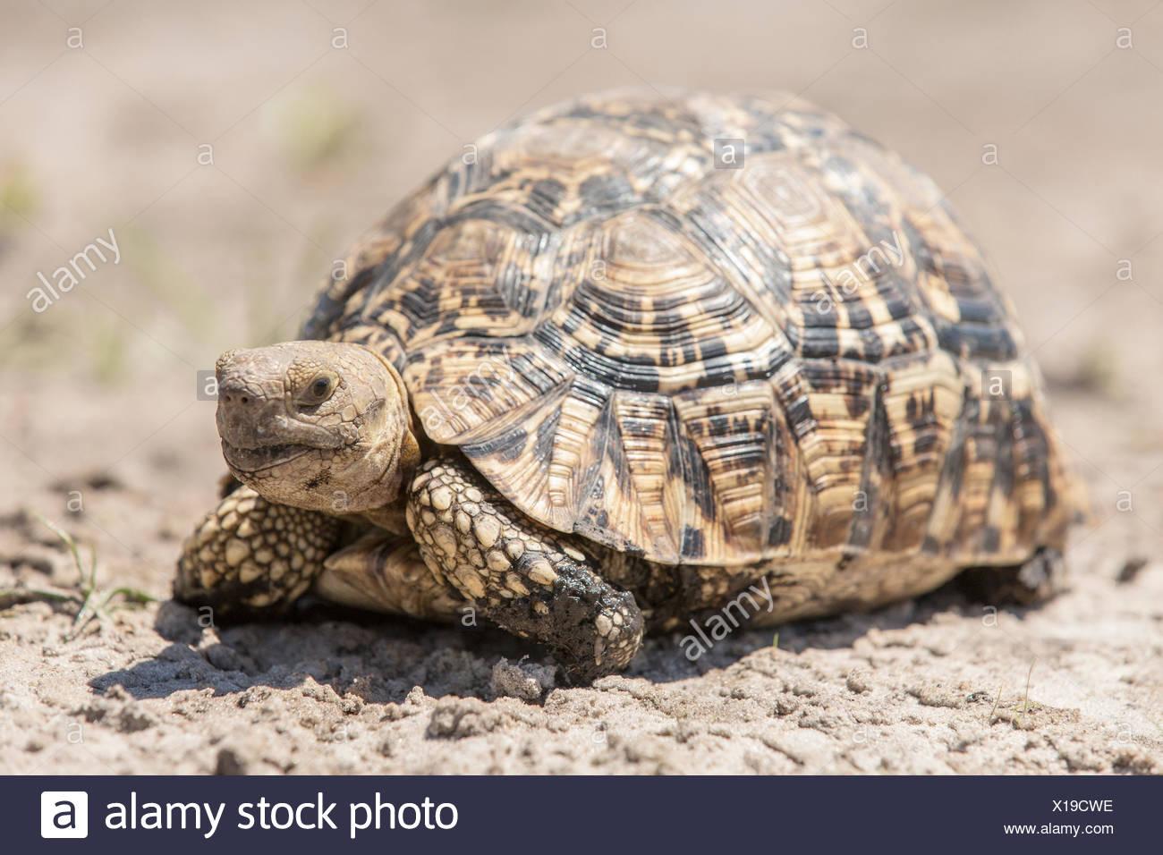Leopard tortoise (Geochelone pardalis), Mamili National Park, Caprivi Strip, Namibia, Africa Stock Photo